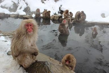 snow-monkeys-1394883_960_720.jpg